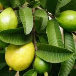 health benefit of Guava fruit and its leaves