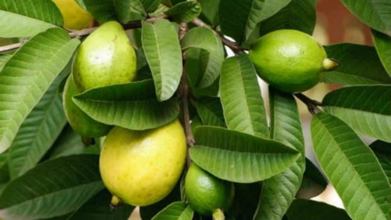 What is the health benefit of Guava fruit and its leaves?
